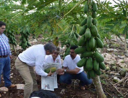 Yucatán conquista con papaya Maradol en mercados de Estados Unidos, Canadá y Europa