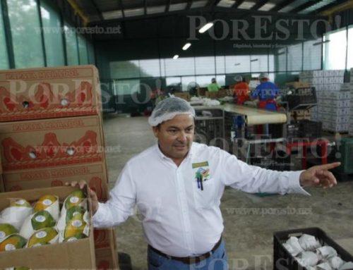 Se recupera lentamente producción de papaya con visión exportadora